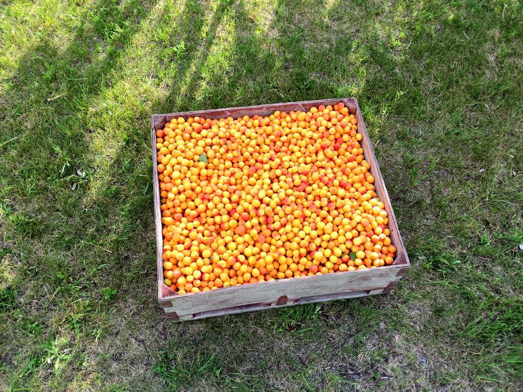 apricot-bin