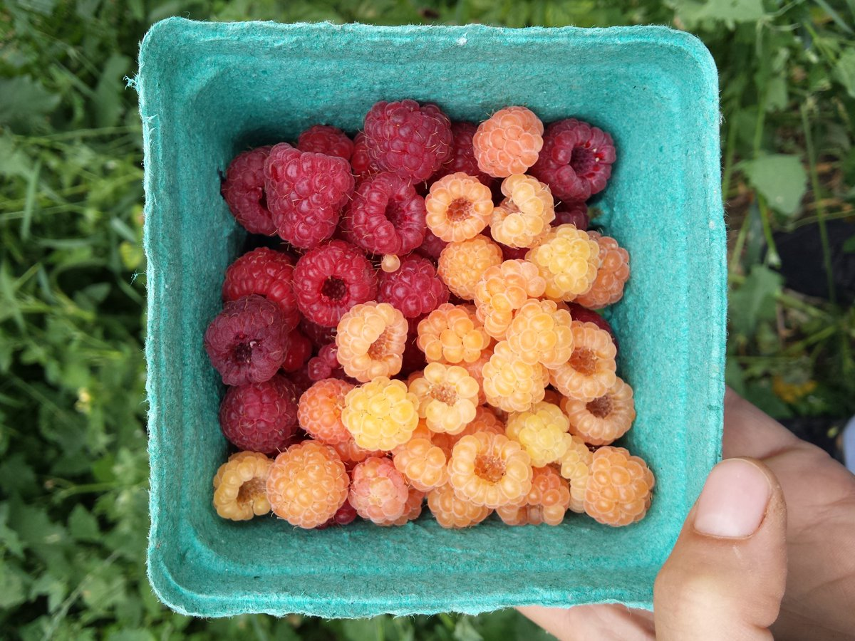 raspberries-two-kinds